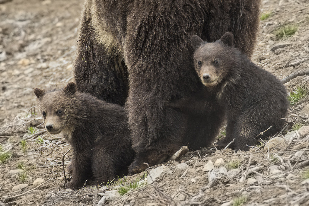 Spring cubs with mom in Yellowstone