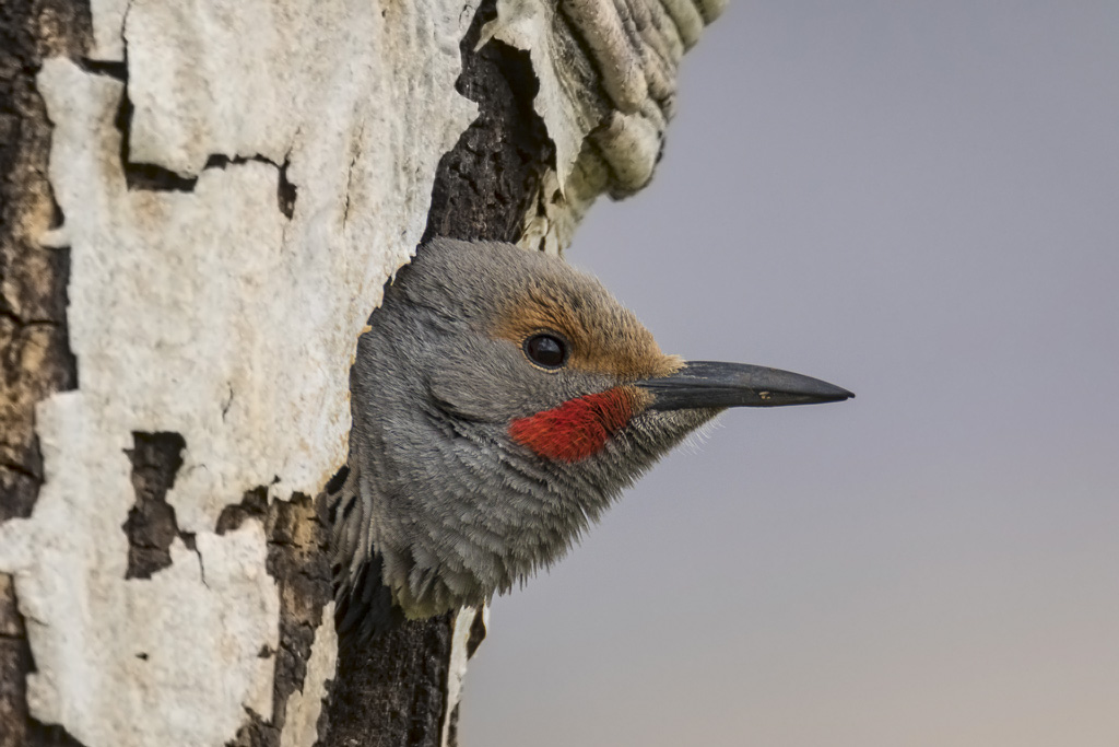 Male Flicker peeking out of nest cavity