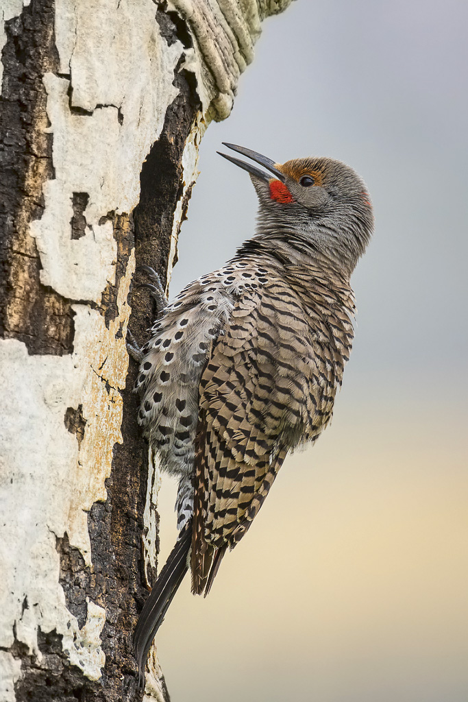 Male flicker at nest cavity