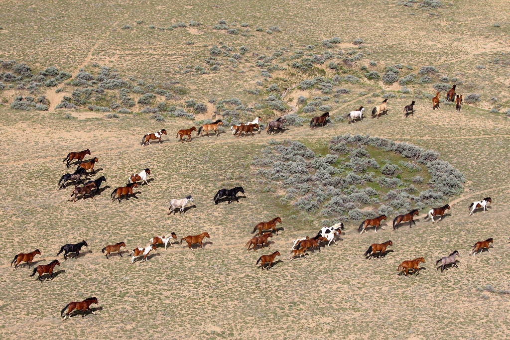 Wild mustangs from above in Wyoming
