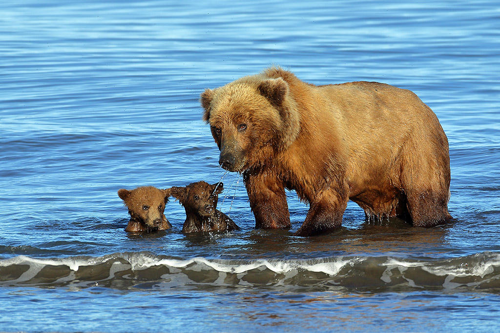 Sow with her spring cubs swimming in the ocean