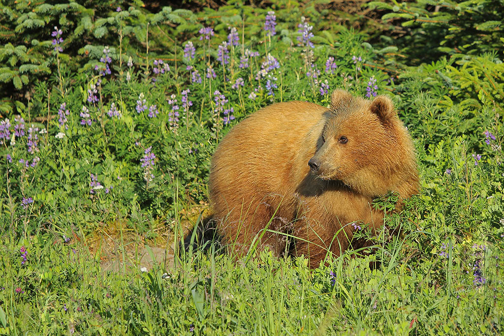 2nd year cub in wildflowers