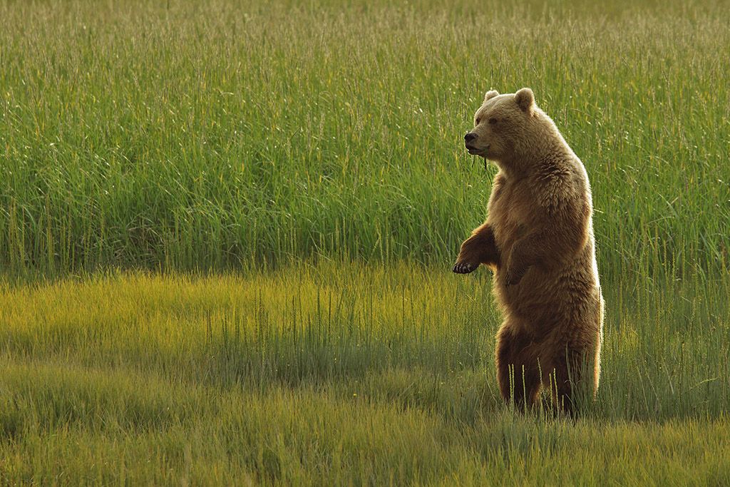 Sow (female) bear watching for danger