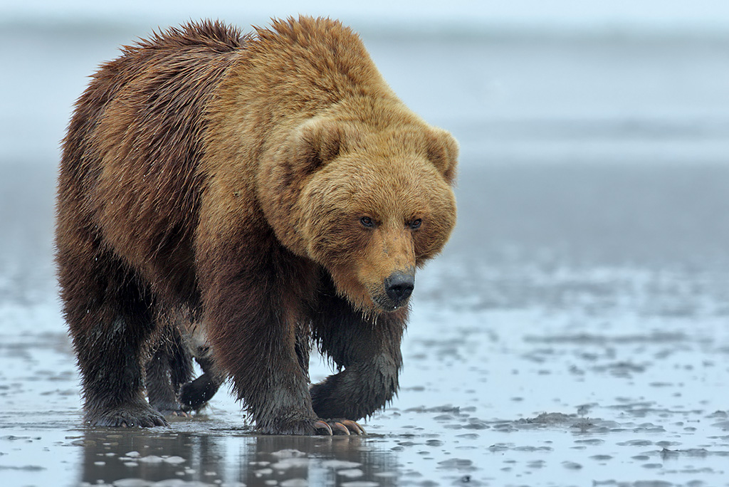 Sow with trailing cub on the clamming flats