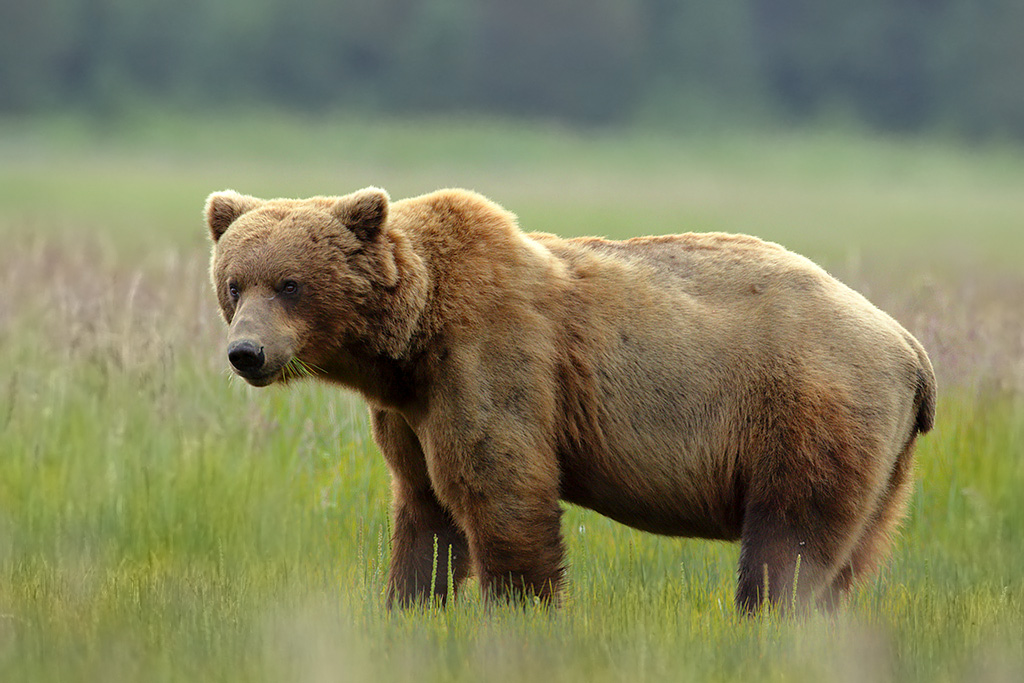 Male (boar) bear