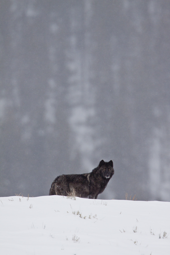 Black colored wolf in Yellowstone