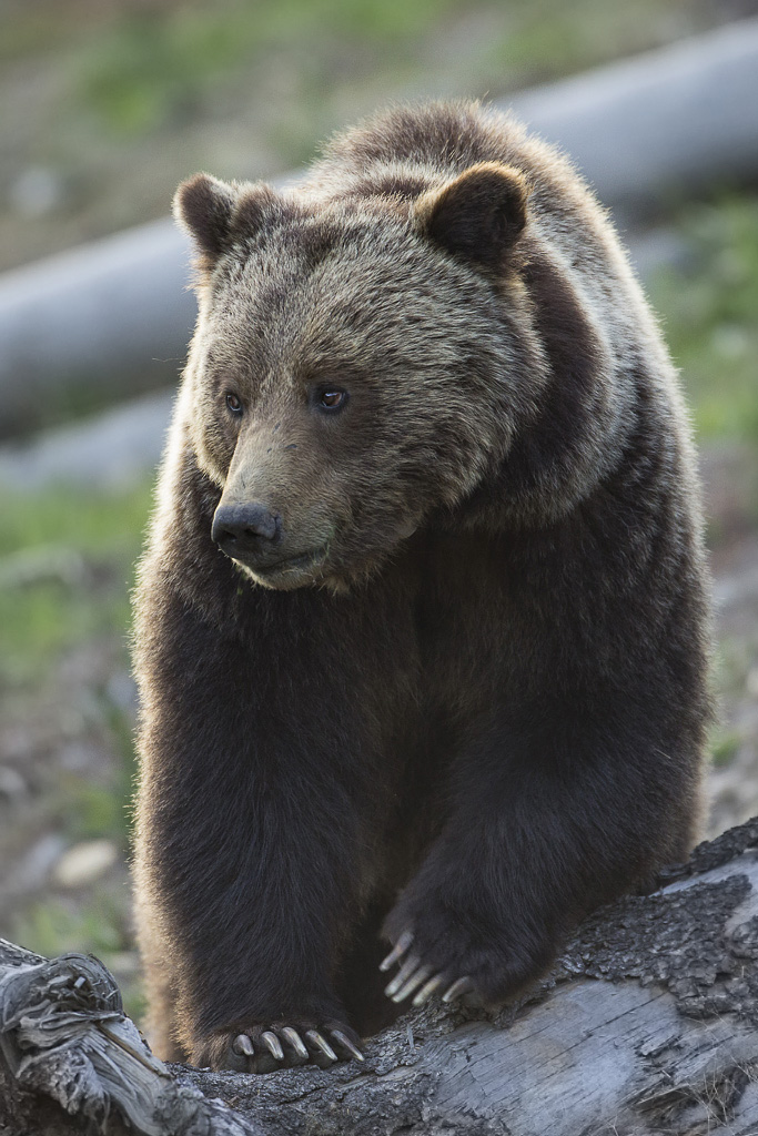 Grizzly bear sow in Yellowstone National Park
