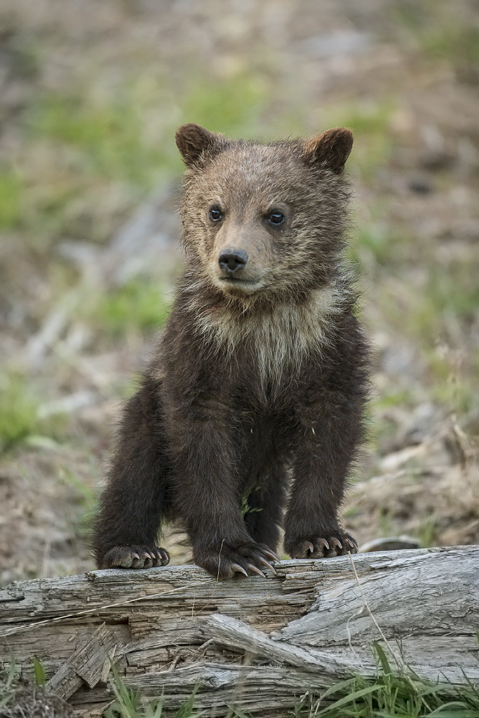 Grizzly bear first year cub