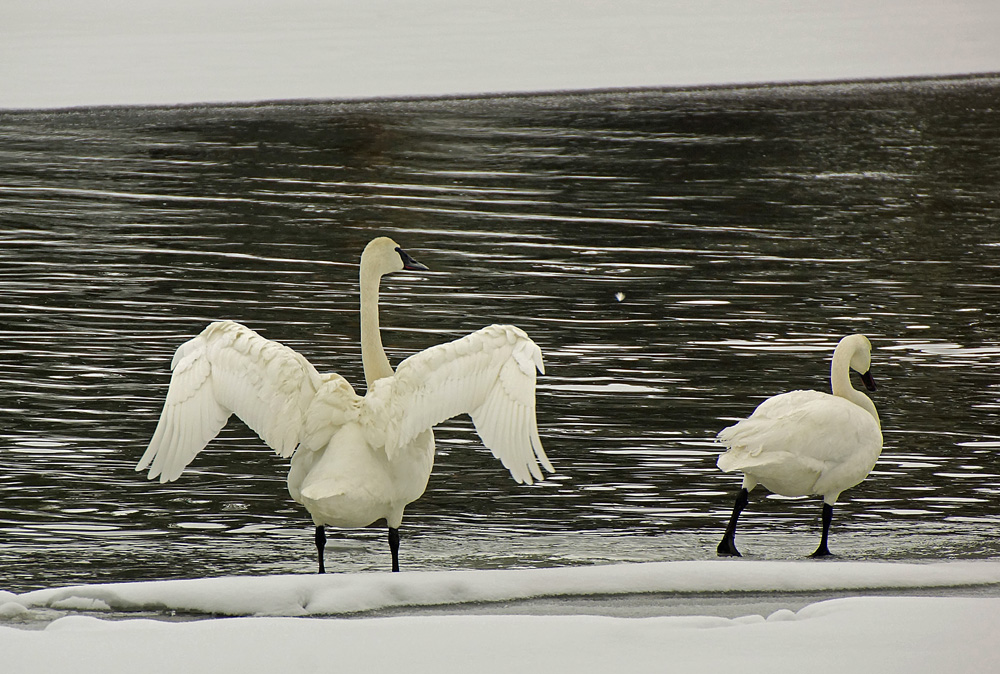 Cindi Probst trumpeter swans