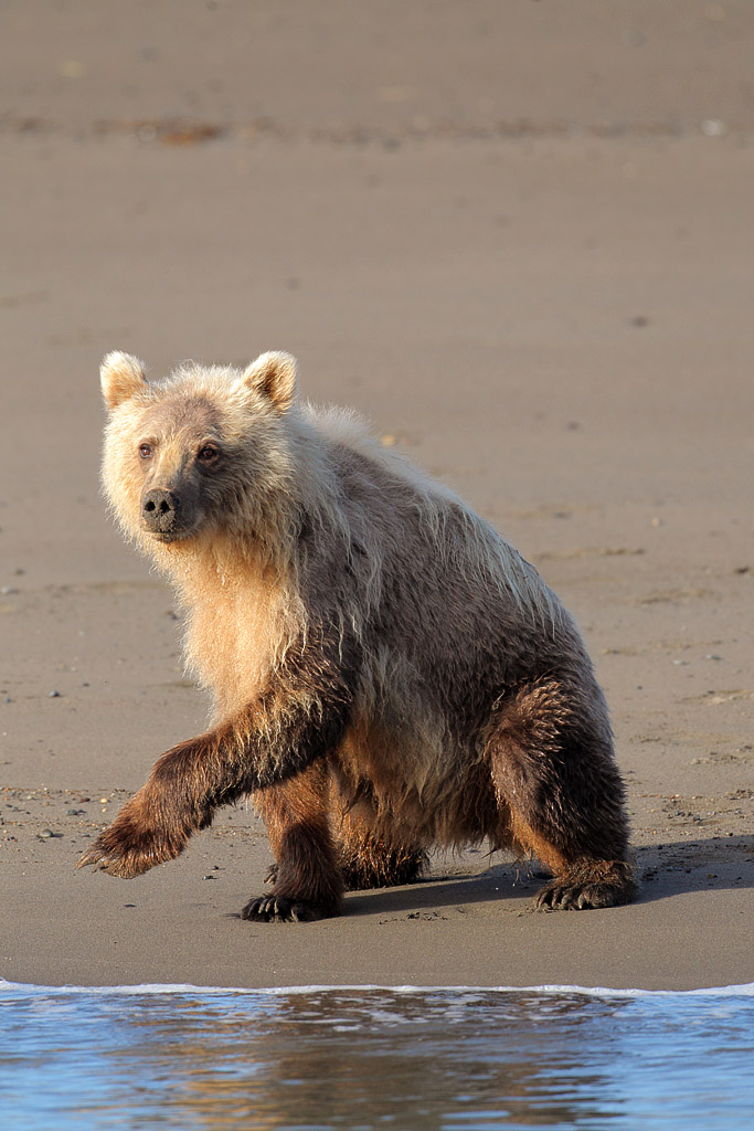 Young brown bear on the beach
