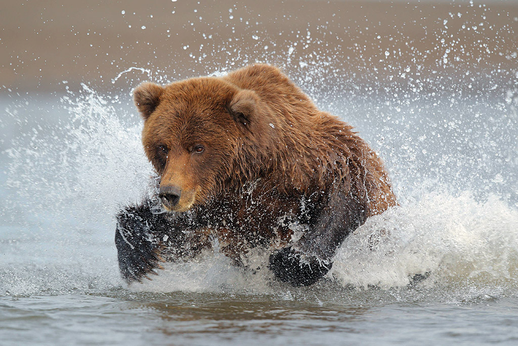 Alaskan brown bear chasing salmon