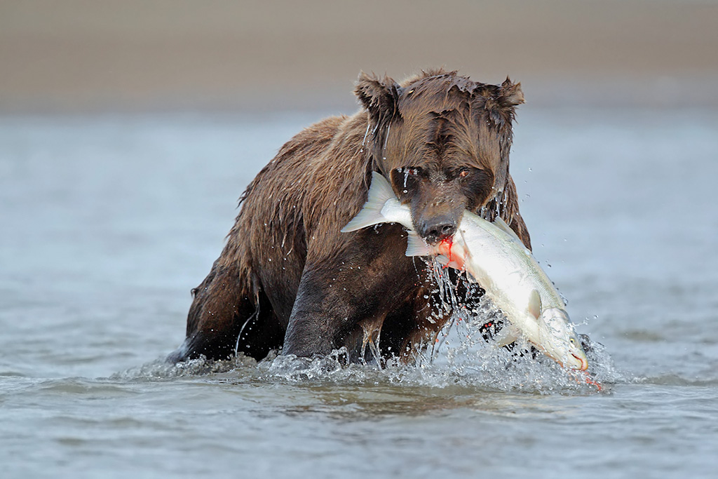 Brown bear with a silver salmon