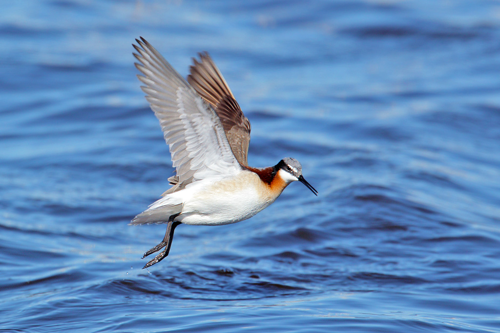Flying Phalarope
