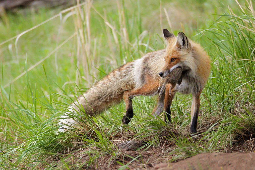 Male red fox bringing food to the kits
