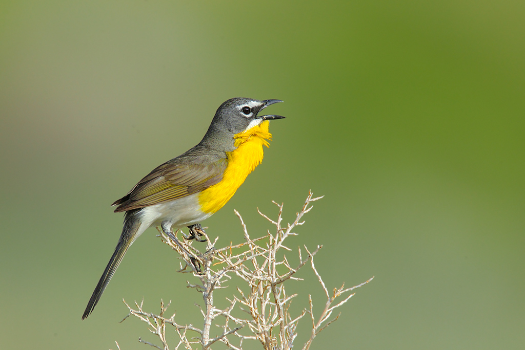 Singing Yellow-breasted Chat