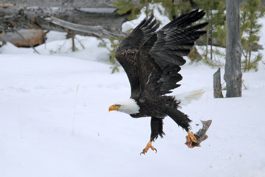 Bald eagle with trout