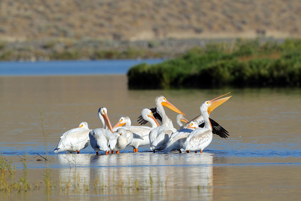 Roosting white pelicans