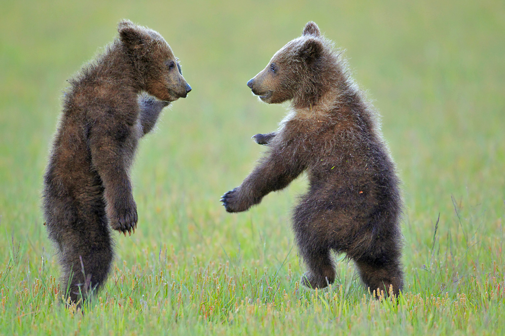 DRobertFranz_brown bear cubs_animal antics