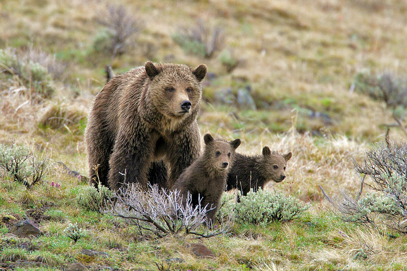 Spring grizzly with cubs