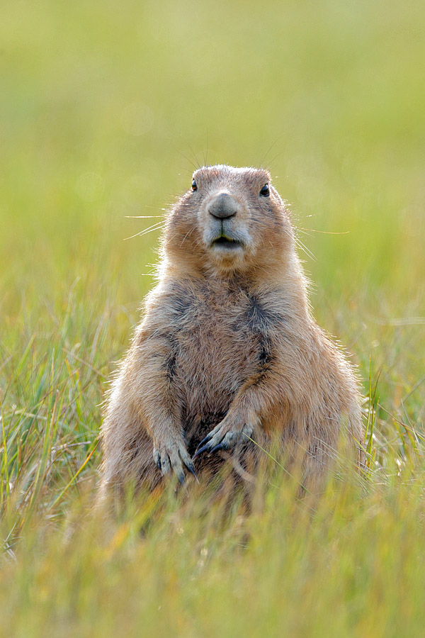 Prairie dog watches Park Ranger harass me